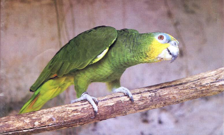 papagaio-h-1