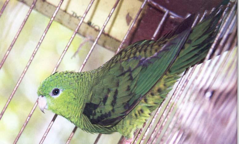 papagaio-h-3