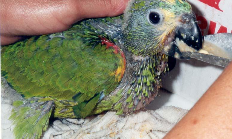 papagaio-h-4