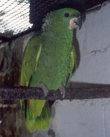 papagaio-v-1