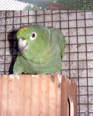 papagaio-v-2